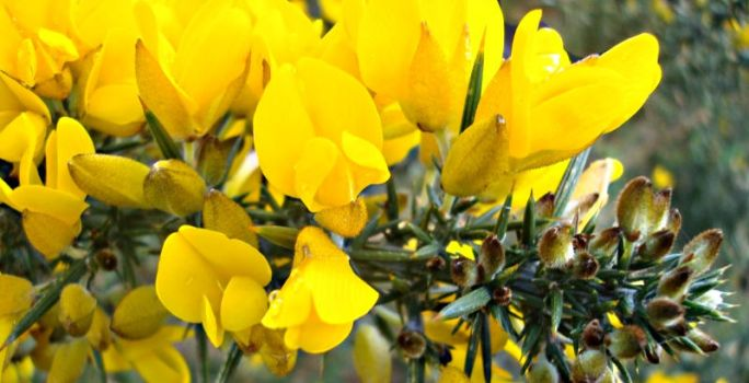 gorse. by miss-momentum