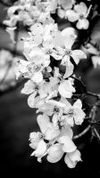 Dogwoods in bloom by The-Satchmoe