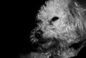 Poodle Black and White by creynolds25