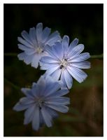 Common chicory by Vampirbiene