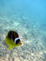 Solo Raccoon Butterfly Fish by MogieG123