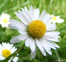 Pushing up Daisies by Deb-e-ann