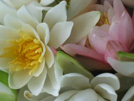 water lillies close up by swordsnfire