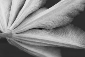 clematis B/W by tap69