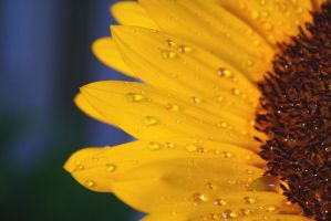 Sunflower with waterdrops III by MissKyr