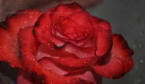 Red Rose by Svetlanadeviant