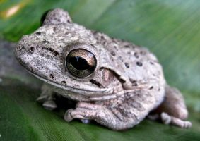 Tree Frog by kelliec3231