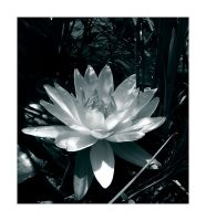 White Water Lily by melissasigalovskaya