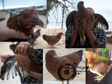 Collage of Nicki (Partridge Plymouth Rock Chicken) by lightworkerlabs