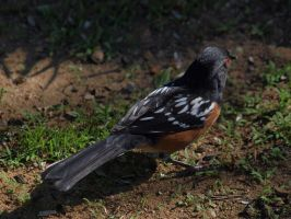 Wild spotted towhee by photographyflower