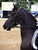 Friesian 26 by EquineStockImagery