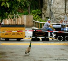 The Peahen and the Railroad by skinsvideos21