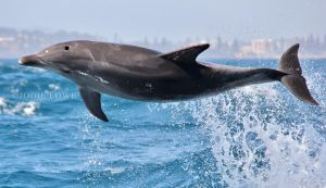 Airbourne Dolphin by Oracle88