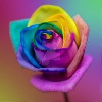 Stunning Rainbow Rose Flower by photographybypixie