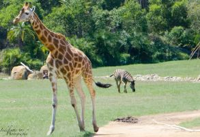 Giraffe 03 by Indefinitefotography
