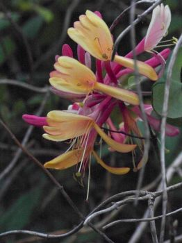 Gold Flame Honeysuckle II by MadGardens