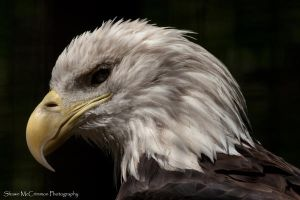 Bald Eagle 4 by aseaofflames