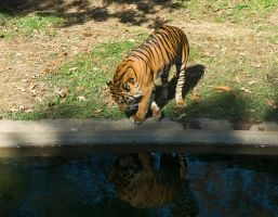 Tiger, Tyger STOCK by slephoto