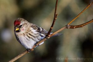 Common Redpoll Female by KSPhotographic