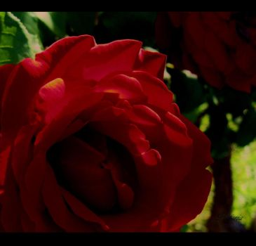 Red Roses 2 by VictoriaElectra