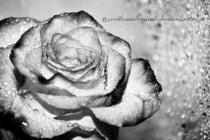 White rose by Svetlanadeviant