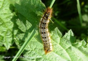 Drinker Moth Caterpillar. by AdrianDunk