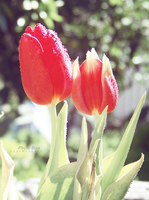 RED Tulips by sublimelove4life