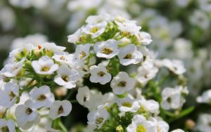 Alyssum by Monkeystyle3000