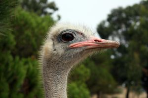 Ostrich by chimino