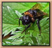 Wet little bumble bee by Munchkinmay