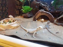 Adorable Bearded Dragons at PetSmart by KrazyKari