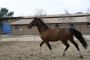 crazy warmblood 15 by Aestivall-Stock