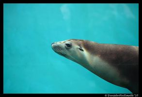 Seal II by TVD-Photography