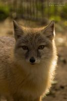Vulpes Corsac by blizzard2006
