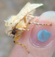 banded tussock moth - 1 by gallimimus-gecko-eel