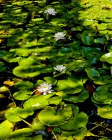 Water Lillies by dylan-S