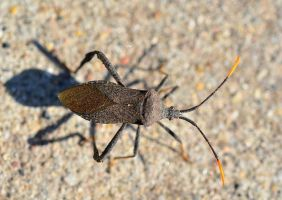 Stink bug by Crixans