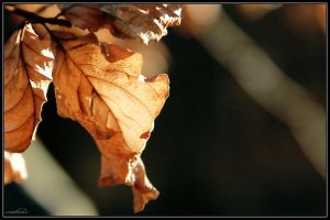 Dry leaf by cailenc