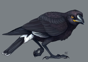 Currawong by soulwithin465