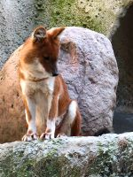 Red wolfy or Dhole by PaPeRDoLLLL