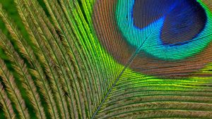 Peacock feather by BlahtheRipper