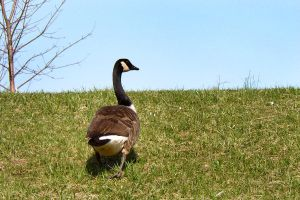 Goose waddle by raverqueenage