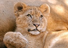 Lion Cub 0149 by robbobert