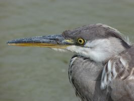 Blue Heron portrait by HammerPhotography