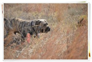 Bullmastiff King of the African Bush by Smile4daBirdy