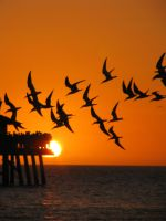 Seagull Silhouette by CandiceSmithPhoto