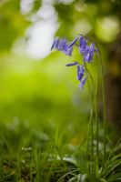 Blue Bells and Bokeh by Lain-AwakeAtNight