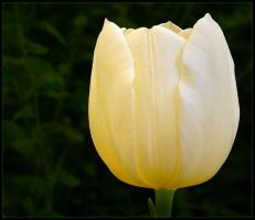 PALE YELLOW TULIP by THOM-B-FOTO