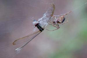 Spider Killing a Dragonfly by TomFawls