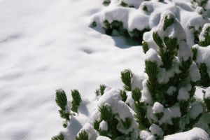Small pine tree in the snow by photohouse